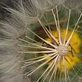 Dandelion by Susanne Van Hulst