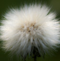 Dandelion by Svetlana Sewell