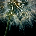 Dandelion Thirty Eight by LKB Art and Photography