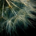 Dandelion Thirty Seven by LKB Art and Photography