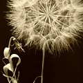 Dandelion Twenty Eight by LKB Art and Photography