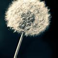 Dandelion by U Schade