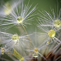Dandelion Water Drop Macro 10 by Christina VanGinkel