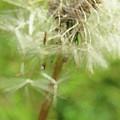 Dandelion Wish 7 by Kim Tran