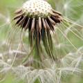 Dandelion Wish 8 by Kim Tran