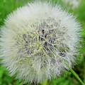 Dandelion Wishes by D Hackett