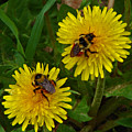 Dandelions And Bees by Heather Coen