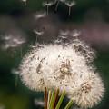 Dandelions In The Wind by Wolfgang Stocker