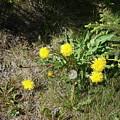Dandelions by Marilynne Bull