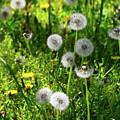 Dandelions On The Maryland Appalachian Trail by Raymond Salani III