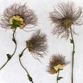 Dandelions by Stefania Levi