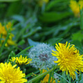 Dandelions, Young And Old by Maria Keady