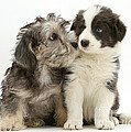 Dandy Dinmont Terrier And Border Collie by Mark Taylor
