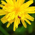 Dandy Lady Bug by Elizabeth Stone