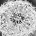 Dandylion Black And White by Stefano Del Bianco