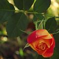 Dangling Rose by Belinda Stucki