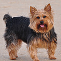 Dapper Dog by Trish Tritz