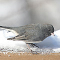 Dark Eyed Junco On The Railing 3 by Laurie With