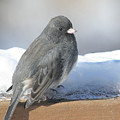 Dark Eyed Junco On The Railing by Laurie With