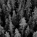 Dark Forest by Caroline Clark