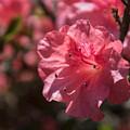 Dark Pink Azalea by Arlene Carmel