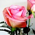 Dark Pink Tipped Roses by Marsha Heiken