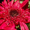 Dark Red Gerbera Daisy by Cynthia Woods