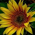 Dark Sunflower by Karen McKenzie McAdoo