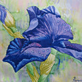 Dark Violet Iris. 2007 by Natalia Piacheva