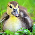 Darling Duckling by Spade Photo