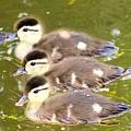 Darling Ducklings  by Jodi Sharp