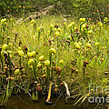 Darlingtonia Plants Grow Beside by Inga Spence