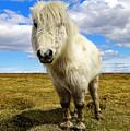 Dartmoor Pony by Rob Hawkins