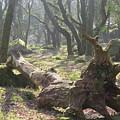 Dartmoor Woods by Linda Whitaker