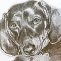 Daschund Pencil Drawing by Susan A Becker