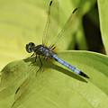 Dasher In My Pond by Mary Ann Artz