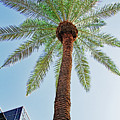 Date Palm In The City by Tom Janca