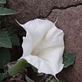 Datura. Flower by Viktor Savchenko