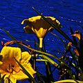 Day Lilies By The Water by David Frederick