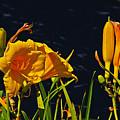 Day Lilies, Dark, Background by David Frederick