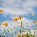 Day Lilies Look To The Sky by Debra Martz