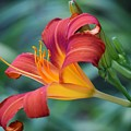 Day Lilly  by Denise Deskin