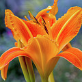 Day Lily Bright by Terry Davis