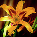 Day Lily by Jay Hooker