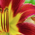 Day Lily Macro by Amber D Hathaway Photography