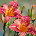 Day Lily Twins by Gayle Miller