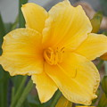 Day Lily by Virginia Kay White