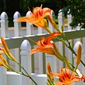 Daylilies On Picket Fence by Kathryn Meyer