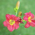 Daylilies by Sue Collura