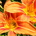 Daylillies In Bloom by Margaret G Calenda